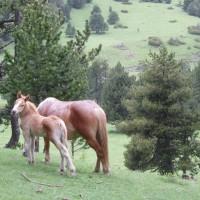 Koně v Pyrenejích