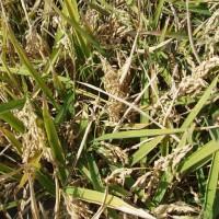Jak roste rýže?