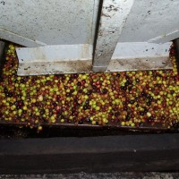 Výroba olivového oleje