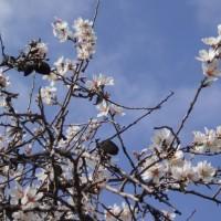 Kvetoucí mandlovník