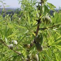 Ještě zelené mandle