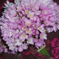 Květy divoké jarní cibule
