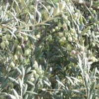Nezralé olivy