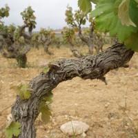 Rašící víno