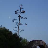 Agáve - suché torzo se semeny