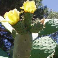 Květy opuncie