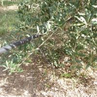 Větev olivovníku a hadice na zavlažování olivovníkových sadů