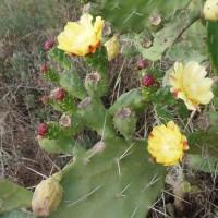 Kvetoucí kaktus