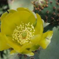 Květ opuncie