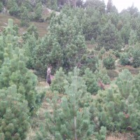 Kamzík v Pyrenejích