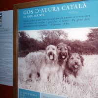 Katalánský ovčácký psi