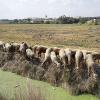 Ovce v deltě Ebra