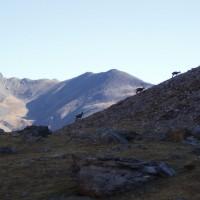 Kamzíci v Pyrenejích