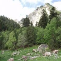 Krávy v Pyrenejích