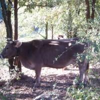 Kráva v lese nad Ripollem