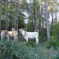 Krávy v lese nad Ripollem